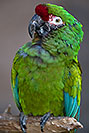 /images/133/2017-01-06-reid-mil-macaw-1x2_4781v.jpg - #13384: Military Macaw at Reid Zoo … January 2017 -- Reid Park Zoo, Tucson, Arizona