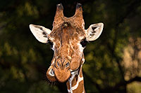 /images/133/2017-01-08-reid-giraffe-1x_34299.jpg - #13396: Giraffe at Reid Park Zoo … January 2017 -- Reid Park Zoo, Tucson, Arizona