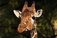 /images/133/2017-01-08-reid-giraffe-1x_34300.jpg - #13397: Giraffe at Reid Park Zoo … January 2017 -- Reid Park Zoo, Tucson, Arizona