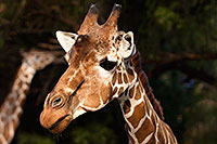 /images/133/2017-01-08-reid-giraffe-1x_34316.jpg - #13399: Giraffe at Reid Park Zoo … January 2017 -- Reid Park Zoo, Tucson, Arizona