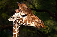 /images/133/2017-01-08-reid-giraffe-1x_34321.jpg - #13400: Giraffe at Reid Park Zoo … January 2017 -- Reid Park Zoo, Tucson, Arizona