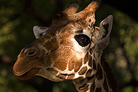 /images/133/2017-01-08-reid-giraffe-1x_34405.jpg - #13401: Giraffe at Reid Park Zoo … January 2017 -- Reid Park Zoo, Tucson, Arizona