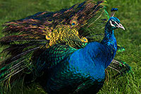 /images/133/2017-01-08-reid-peacock-1x_34354.jpg - #13408: Peacock at Reid Park Zoo … January 2017 -- Reid Park Zoo, Tucson, Arizona