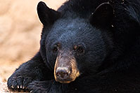 /images/133/2017-01-09-museum-bear-1x2_12556.jpg - 13536: Black Bear at Arizona Sonora Desert Museum … January 2017 -- Arizona-Sonora Desert Museum, Tucson, Arizona