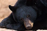 /images/133/2017-01-09-museum-bear-1x2_12564.jpg - #13416: Black Bear at Arizona Sonora Desert Museum … January 2017 -- Arizona-Sonora Desert Museum, Tucson, Arizona