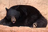 /images/133/2017-01-09-museum-bear-1x_34503.jpg - #13403: Black Bear at Arizona Sonora Desert Museum … January 2017 -- Arizona-Sonora Desert Museum, Tucson, Arizona