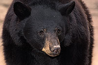 /images/133/2017-01-09-museum-bear-1x_34559m.jpg - #13407: Black Bear at Arizona Sonora Desert Museum … January 2017 -- Arizona-Sonora Desert Museum, Tucson, Arizona