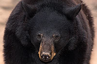 /images/133/2017-01-09-museum-bear-1x_34562m.jpg - #13409: Black Bear at Arizona Sonora Desert Museum … January 2017 -- Arizona-Sonora Desert Museum, Tucson, Arizona