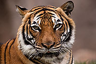 /images/133/2017-01-09-tuc-reid-tiger-1x2_10359.jpg - #13429: Malayan Tiger in Tucson … January 2017 -- Reid Park Zoo, Tucson, Arizona