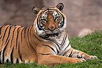 /images/133/2017-01-09-tuc-reid-tiger-1x2_10498.jpg - #13430: Malayan Tiger in Tucson … January 2017 -- Reid Park Zoo, Tucson, Arizona