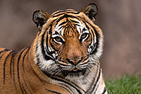 /images/133/2017-01-09-tuc-reid-tiger-1x2_10512.jpg - #13431: Tiger in Tucson … January 2017 -- Reid Park Zoo, Tucson, Arizona