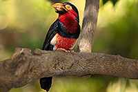 /images/133/2017-01-10-reid-birds-1x2_13507.jpg - 13442: Bearded Barbet at Reid Park Zoo … January 2017 -- Reid Park Zoo, Tucson, Arizona