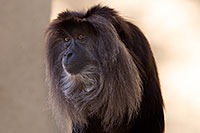 /images/133/2017-01-10-tuc-reid-monkey-1x2_12581.jpg - #13448: Lion-Tailed Macaque at Reid Park Zoo … January 2017 -- Reid Park Zoo, Tucson, Arizona
