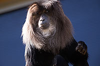 /images/133/2017-01-10-tuc-reid-monkey-1x2_14227.jpg - #13449: Lion-Tailed Macaque at Reid Park Zoo … January 2017 -- Reid Park Zoo, Tucson, Arizona