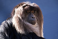 /images/133/2017-01-10-tuc-reid-monkey-1x2_14283.jpg - #13451: Lion-Tailed Macaque at Reid Park Zoo … January 2017 -- Reid Park Zoo, Tucson, Arizona