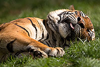 /images/133/2017-01-10-tuc-reid-tiger-1x2_14486.jpg - #13449: Malayan Tiger at Reid Park Zoo … January 2017 -- Reid Park Zoo, Tucson, Arizona