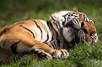 /images/133/2017-01-10-tuc-reid-tiger-1x2_14498.jpg - #13450: Malayan Tiger at Reid Park Zoo … January 2017 -- Reid Park Zoo, Tucson, Arizona