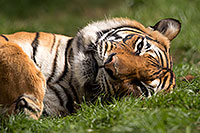 /images/133/2017-01-10-tuc-reid-tiger-1x2_14515.jpg - #13451: Malayan Tiger at Reid Park Zoo … January 2017 -- Reid Park Zoo, Tucson, Arizona