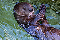 /images/133/2017-01-27-reid-otters-5d4_0837.jpg - #13547: African Spotted Necked Otter at Reid Park Zoo … January 2017 -- Reid Park Zoo, Tucson, Arizona