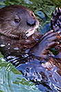 /images/133/2017-01-27-reid-otters-5d4_0837v.jpg - #13554: African Spotted Necked Otters at Reid Park Zoo … January 2017 -- Reid Park Zoo, Tucson, Arizona