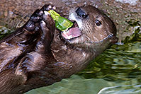 /images/133/2017-01-27-reid-otters-5d4_0846.jpg - #13549: African Spotted Necked Otter at Reid Park Zoo … January 2017 -- Reid Park Zoo, Tucson, Arizona