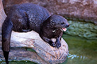 /images/133/2017-01-27-reid-otters-5d4_1116.jpg - #13557: African Spotted Necked Otter at Reid Park Zoo … January 2017 -- Reid Park Zoo, Tucson, Arizona
