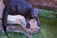 /images/133/2017-01-27-reid-otters-5d4_1121.jpg - #13558: African Spotted Necked Otter at Reid Park Zoo … January 2017 -- Reid Park Zoo, Tucson, Arizona