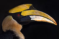 /images/133/2017-01-28-reid-hornbill-1x_35727.jpg - 13569: Great Hornbill at Reid Park Zoo … February 2017 -- Reid Park Zoo, Tucson, Arizona