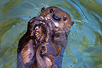 /images/133/2017-01-29-reid-otters-1x_36272.jpg - #13572: African Spotted Necked Otter at Reid Park Zoo … January 2017 -- Reid Park Zoo, Tucson, Arizona