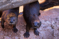 /images/133/2017-01-29-reid-otters-1x_36290.jpg - #13573: African Spotted Necked Otters at Reid Park Zoo … January 2017 -- Reid Park Zoo, Tucson, Arizona
