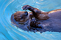 /images/133/2017-01-29-reid-otters-1x_36319.jpg - #13574: African Spotted Necked Otter at Reid Park Zoo … January 2017 -- Reid Park Zoo, Tucson, Arizona