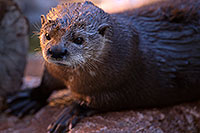 /images/133/2017-01-29-reid-otters-1x_36361.jpg - #13576: African Spotted Necked Otter at Reid Park Zoo … January 2017 -- Reid Park Zoo, Tucson, Arizona