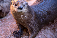 /images/133/2017-01-29-reid-otters-1x_36392.jpg - #13577: African Spotted Necked Otter at Reid Park Zoo … January 2017 -- Reid Park Zoo, Tucson, Arizona