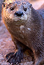 /images/133/2017-01-29-reid-otters-1x_36392v.jpg - #13584: African Spotted Necked Otter at Reid Park Zoo … January 2017 -- Reid Park Zoo, Tucson, Arizona