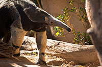 /images/133/2017-01-31-reid-anteaters-1x_36983.jpg - 13680: Giant Anteater at Reid Park Zoo … February 2017 -- Reid Park Zoo, Tucson, Arizona
