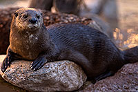 /images/133/2017-02-01-reid-otters-1x_37623.jpg - #13591: African Spotted Necked Otter at Reid Park Zoo … February 2017 -- Reid Park Zoo, Tucson, Arizona