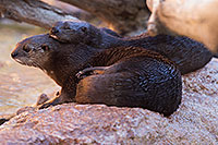 /images/133/2017-02-01-reid-otters-1x_37784.jpg - #13594: African Spotted Necked Otter at Reid Park Zoo … February 2017 -- Reid Park Zoo, Tucson, Arizona