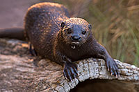 /images/133/2017-02-01-reid-otters-1x_37950.jpg - #13595: African Spotted Necked Otter at Reid Park Zoo … February 2017 -- Reid Park Zoo, Tucson, Arizona