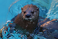 /images/133/2017-02-01-reid-otters-1x_37967.jpg - #13596: African Spotted Necked Otter at Reid Park Zoo … February 2017 -- Reid Park Zoo, Tucson, Arizona