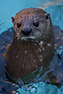 /images/133/2017-02-01-reid-otters-1x_37972v.jpg - #13604: African Spotted Necked Otter at Reid Park Zoo … February 2017 -- Reid Park Zoo, Tucson, Arizona