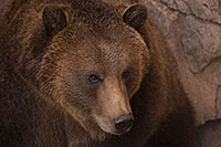 /images/133/2017-02-03-reid-grizzlies-1x_39305.jpg - #13605: Grizzly Bear at Reid Park Zoo … February 2017 -- Reid Park Zoo, Tucson, Arizona