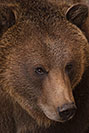 /images/133/2017-02-03-reid-grizzlies-1x_39305v.jpg - #13612: Grizzly Bear at Reid Park Zoo … February 2017 -- Reid Park Zoo, Tucson, Arizona