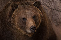 /images/133/2017-02-03-reid-grizzlies-1x_39311.jpg - 13627: Grizzly Bear at Reid Park Zoo … February 2017 -- Reid Park Zoo, Tucson, Arizona