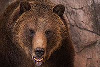 /images/133/2017-02-03-reid-grizzlies-1x_39354.jpg - #13608: Grizzly Bear at Reid Park Zoo … February 2017 -- Reid Park Zoo, Tucson, Arizona