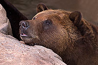 /images/133/2017-02-03-reid-grizzlies-1x_39617.jpg - #13610: Grizzly Bear at Reid Park Zoo … February 2017 -- Reid Park Zoo, Tucson, Arizona