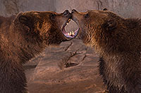 /images/133/2017-02-03-reid-grizzlies-1x_39863.jpg - #13613: Grizzly Bears at Reid Park Zoo … February 2017 -- Reid Park Zoo, Tucson, Arizona