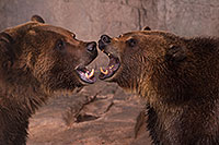 /images/133/2017-02-03-reid-grizzlies-1x_39958.jpg - #13616: Grizzly Bears at Reid Park Zoo … February 2017 -- Reid Park Zoo, Tucson, Arizona
