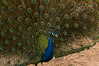 /images/133/2017-02-03-reid-peacocks-1x_40559.jpg - #13624: Peacock at Reid Park Zoo … February 2017 -- Reid Park Zoo, Tucson, Arizona
