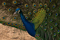 /images/133/2017-02-03-reid-peacocks-1x_40567.jpg - 13625: Peacock at Reid Park Zoo … February 2017 -- Reid Park Zoo, Tucson, Arizona