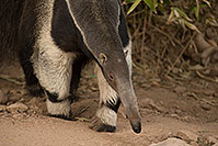 /images/133/2017-02-05-reid-anteaters-1x_41108.jpg - #13627: Giant Anteater at Reid Park Zoo … February 2017 -- Reid Park Zoo, Tucson, Arizona